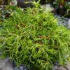 Chamaecyparis obtusa 'Gitte' - Vrtnarstvo Breskvar
