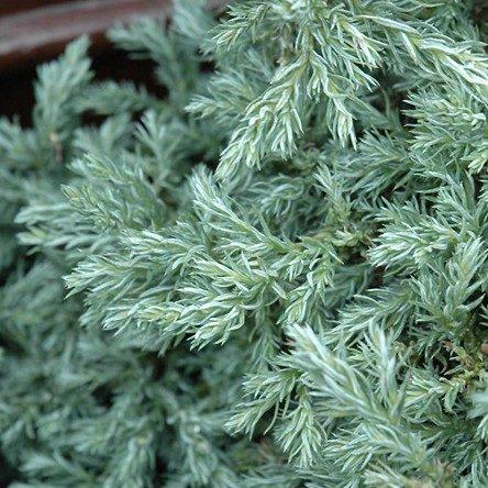Chamacyparis pisifera 'Baby blue' - Vrtnarstvo Breskvar
