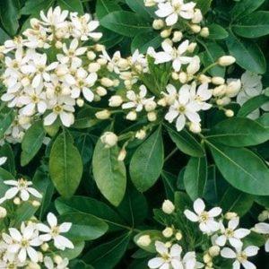 Choisya ternata - Vrtnarstvo Breskvar