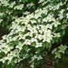 Cornus kousa 'Weisse Fontaine' - Vrtnarstvo Breskvar