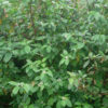 Cornus alba 'Sibirica' - Vrntarstvo Breskvar