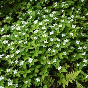 Cornus canadensis - Vrtnarstvo Breskvar