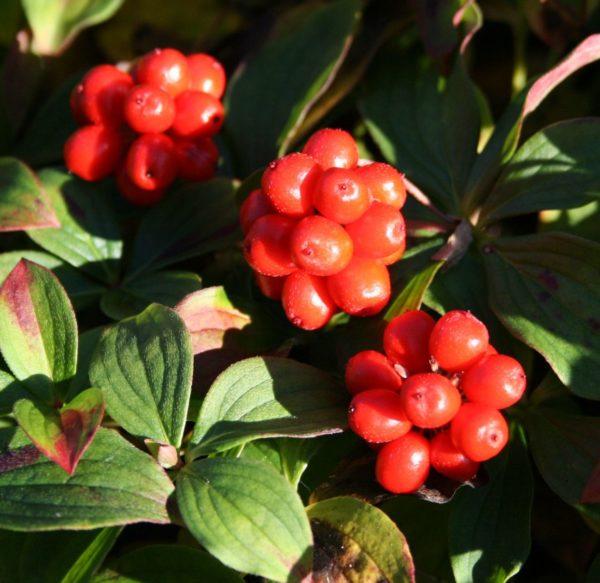 Cornus canadensis plod - Vrtnarstvo Breskvar