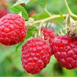Rubus idaeus 'Heritage' - Vrtnarstvo Breskvar