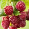 Rubus idaeus 'Sugana' - Vrtnarstvo Breskvar