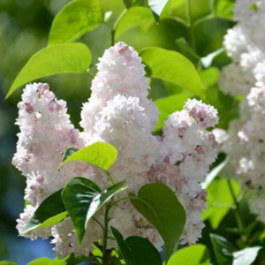 Syringa vulgaris 'Beauty of Moscow' - Vrtnarstvo Breskvar