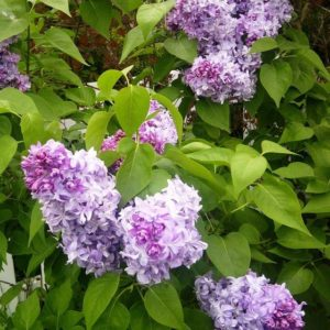 Syringa vulgaris 'Nadezhda' - Vrtnarstvo Breskvar