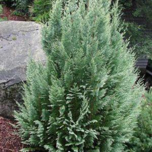 Chamaecyparis lawoniana 'White spot' - Vrtnarstvo Breskvar
