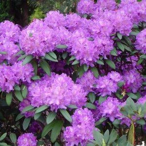 Rhododendron 'Alfred' - Vrtnarstvo Breskvar