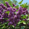 Syringa vulgaris 'Ruhm von Hortenstein' - Vrtnarstvo Breskvar