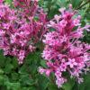 Syringa (Bloomerang) Pink perfume - Vrtnarstvo Breskvar