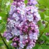 Syringa vulgaris 'Victor Lemoine' - Vrtnarstvo Breskvar