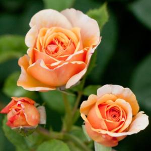 Rosa 'Charles Austin' - Vrtnarstvo Breskvar
