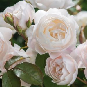 Rosa 'Desdemona' - Vrtnarstvo Breskvar