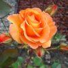 Rosa 'Doris Tystermann' - Vrtnarstvo Breskvar