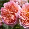 Rosa Emmanuelle - Vrtnarstvo Breskvar