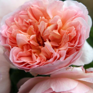 Rosa Emanuel - Vrtnarstvo Breskvar