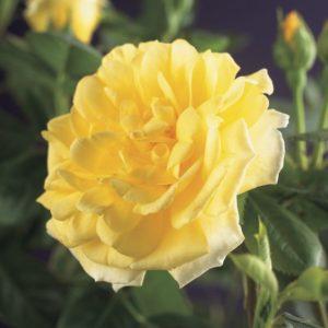 Rosa 'Golden Climber' - Vrtnarstvo Breskvar