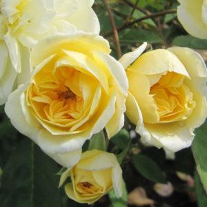 Rosa 'Malvern hills'- Vrtnarstvo Breskvar