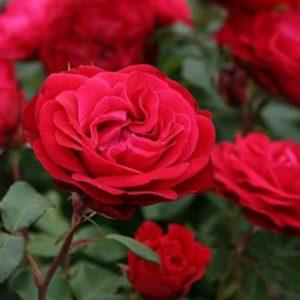Rosa 'Rouga Meilove' - Vrtnarstvo Breskvar