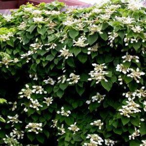 Schizophragma hydrangeoides - Vrtnarstvo Breskvar