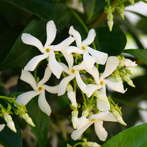 Trachelospermum jasminoides - Vrtnarstvo Breskvar