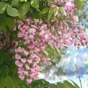 Wisteria venusta 'Showa-beni' - Vrtnarstvo Breskvar