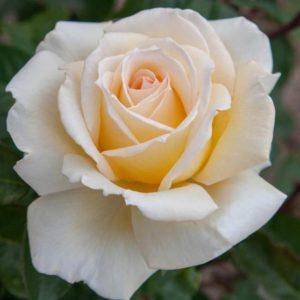 Rosa 'Ambassador' - Vrtnarstvo Breskvar