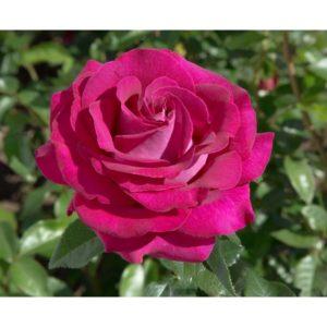 Rosa 'Belles Rives' - Vrtnarstvo Breskvar