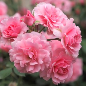 Rosa 'Bonica 82' - Vrtnarstvo Breskvar