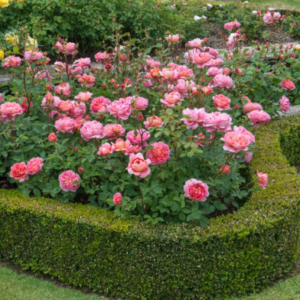 Rosa 'Boscobel' - Vrtnarstvo Breskvar