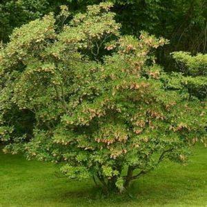 Enkianthus Campanulatus - Vrtnarstvo Breskvar