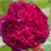 Rosa 'Falstaff' - Vrtnarstvo Breskvar