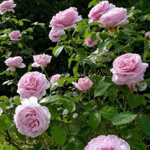 Rosa 'Frederik Mistral' - Vrtnarstvo Breskvar