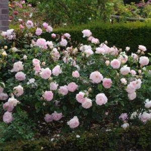 Rosa 'Gentle Harmonie' - Vrtnarstvo Breskvar