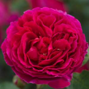 Rosa 'Heathcliff' - Vrtnarstvo Breskvar
