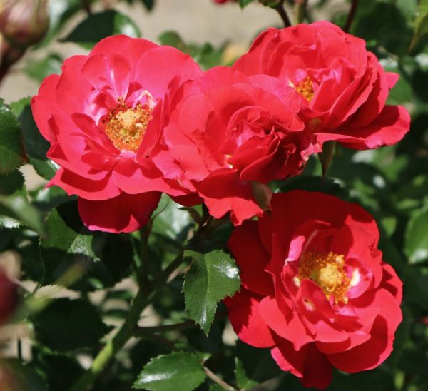 Rosa 'Heidefeuer' - Vrtnarstvo Breskvar