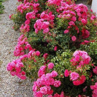 Rosa 'Heidetraum'- Vrtnarstvo Breskvar