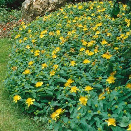 Hypericum calycinum - Vrtnarstvo Breskvar