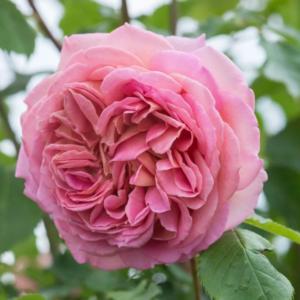 Rosa 'Jubilee celebration' - Vrtnarstvo Breskvar