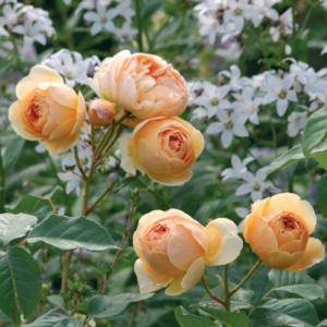 Rosa 'Jude de Obscure' - Vrtnarstvo Breskvar
