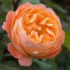 Rosa 'Lady Emma Hamilton' - Vrtnarstvo Breskvar