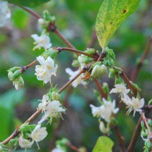 Lonicera x purpusii 'Winter Beauty' - Vrtnarstvo Breskvar