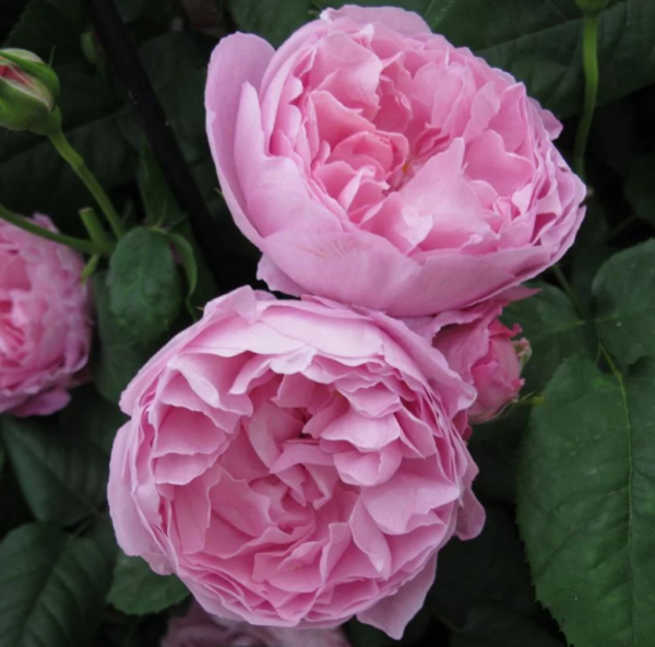 Rosa 'Mary Rose' - Vrtnarstvo Breskvar