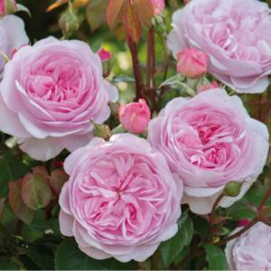 Rosa 'Olivia Rose Austin' - Vrtnarstvo Breskvar