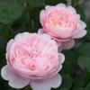 Rosa 'Queen of Sweden' - Vrtnarstvo Breskvar