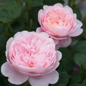 Rosa 'Queen of Sweden' - Vrtnarstvo Breskvar