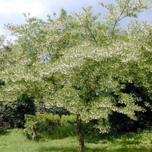Styrax japonicus- Vrtnarstvo Breskvar
