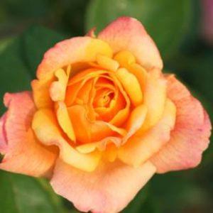 Rosa 'Sutters Gold ' - Vrtnarstvo Breskvar