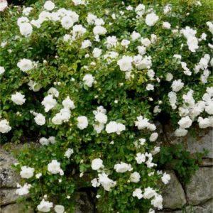 Rosa 'Swany' - Vrtnarstvo Breskvar
